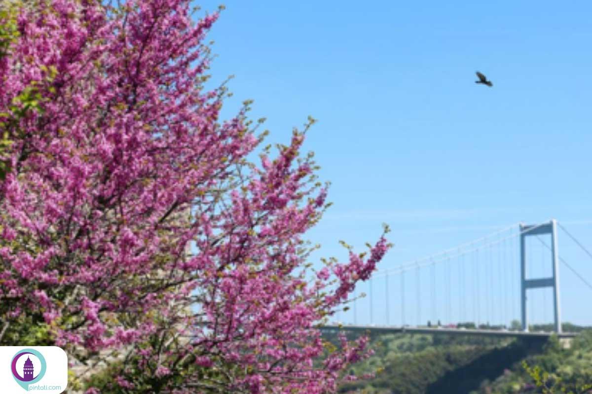 شکوفههای درختان ارغوان استانبول