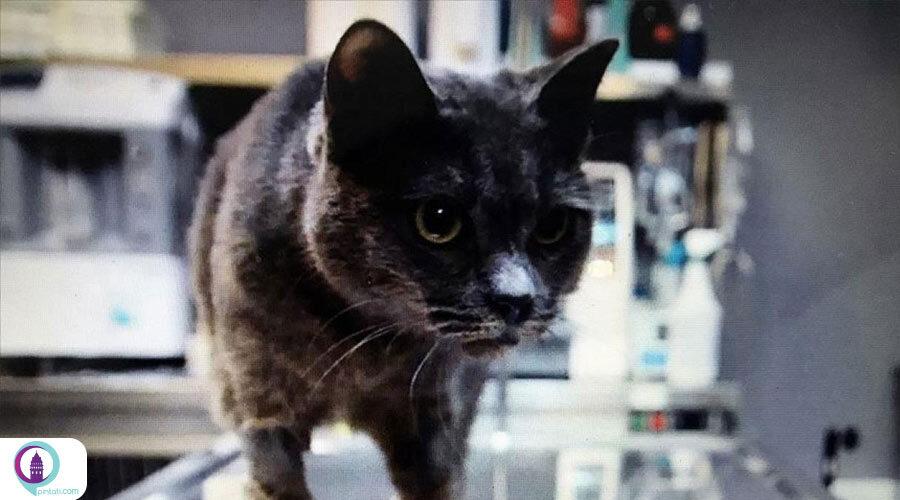 ساخت سقف دهان مصنوعی برای گربهای که دچار برقگرفتگی شده بود