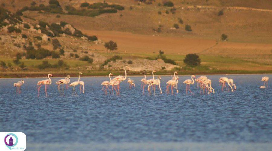 هزاران فلامینگو میهمان دریاچه یاریشلی ترکیه