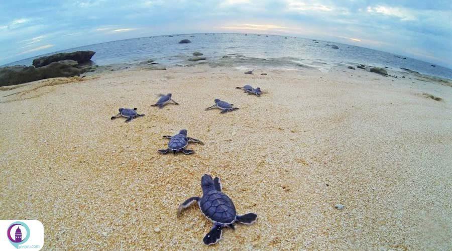 فصل تخمگزاری لاکپشتهای دریایی در سواحل مرسین ترکیه آغاز شده