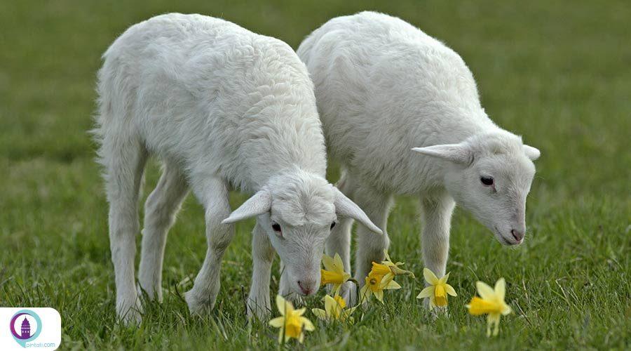 ترکیه به مقام نخست جهانی تولید شیر گوسفند دست یافت