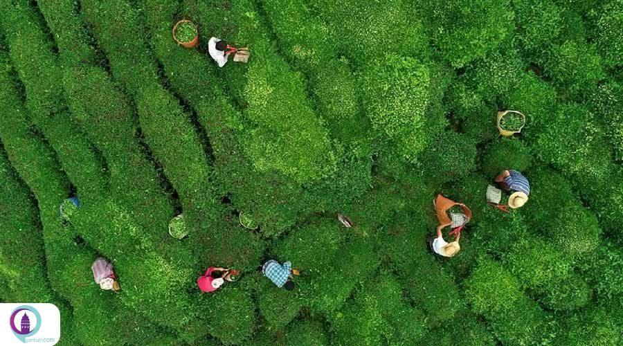 صادرات چای به ۱۰۳ کشور جهان