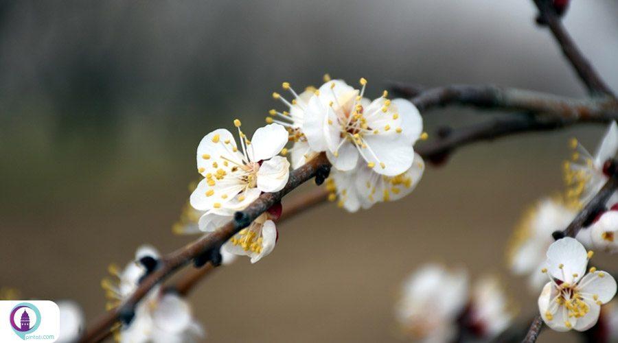 برگزاری «جشنواره شکوفه زردآلو» در مالاتیای ترکیه