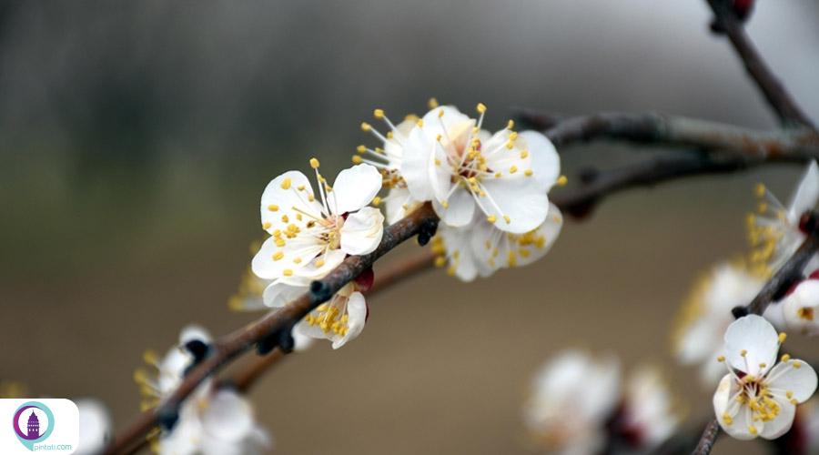 جشنواره شکوفه زردآلو