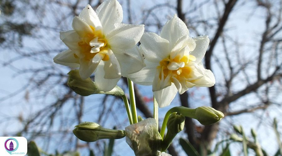 جشن برداشت گل نرگس در شهر ازمیر